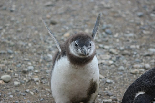 Penguin Makes Flying Motion with Flippers