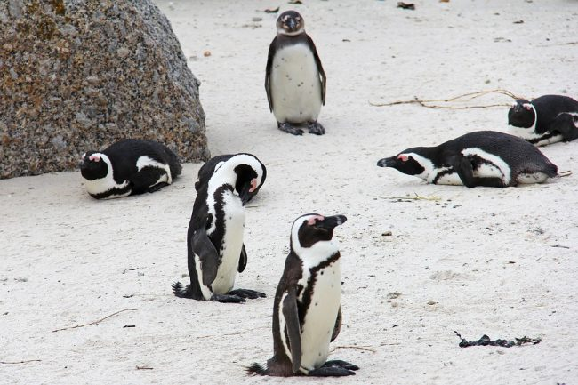 Picture containing all the sleeping position of the penguins
