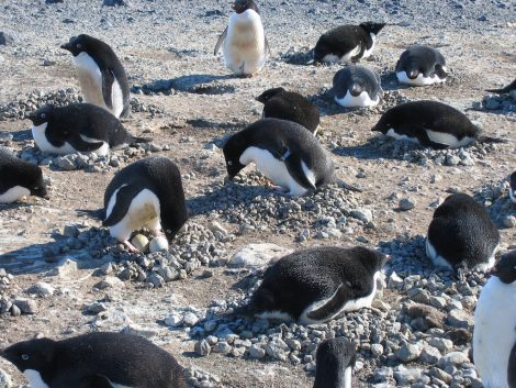 A colony of Adelie penguins incubating their eggs