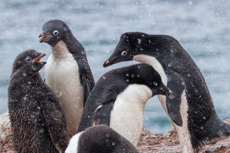 Adelie penguin group