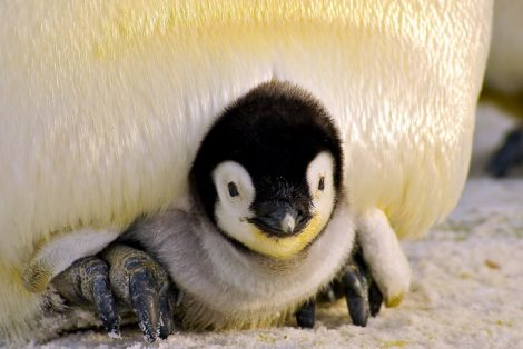 Adult emperor penguin incubating the chick