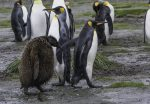 Adult king penguin with its molting chick