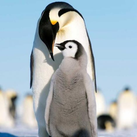 Adult penguin and chick