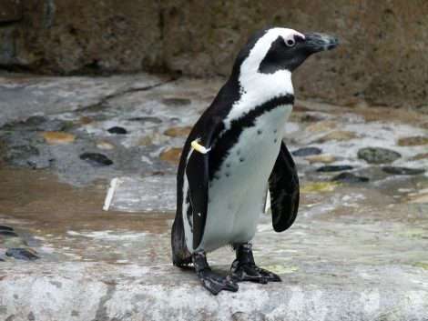 African penguin on the rocky land