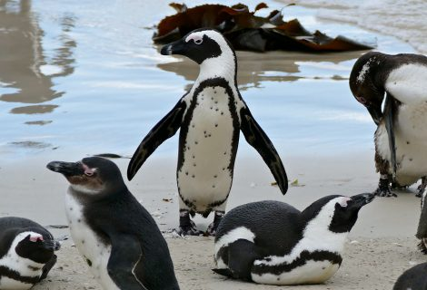 African penguins in various positions