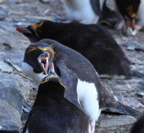 Aggressive Macaroni penguins