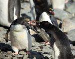 Angry Macaroni penguins