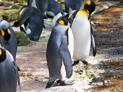 Beautiful King penguins in the temperate place