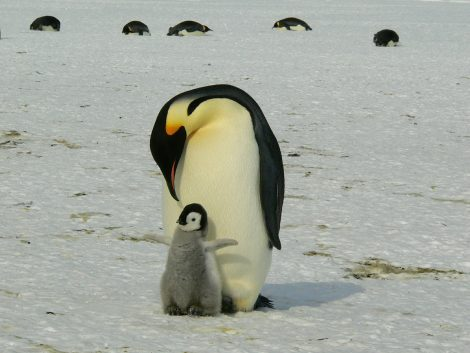 Blubber Helps Penguins To Survive Harsh Antarctic Weather