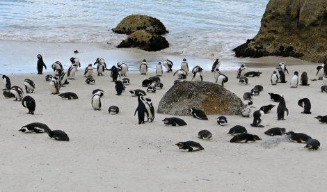 Boulders beach colony