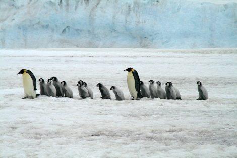 Emperor Penguins in Antartica