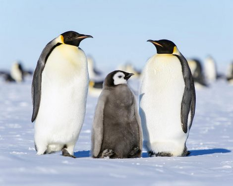 Emperor penguin couple and chick