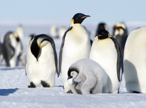 Emperor penguins and a chick