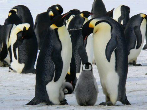 Emperor penguins huddling together