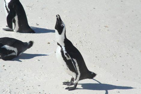 Endangered African penguins
