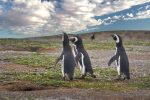 Fairy Penguins with less body mass and height