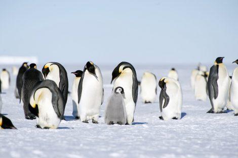 Few emperor penguins tucking their bill under the flipper