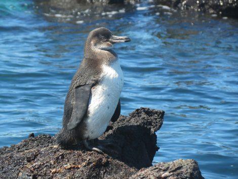 Galapagos Penguins Eat Small Fish