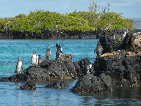 Galapagos Penguins on Island