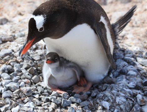 Gentoo penguin with its chick