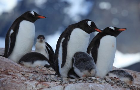 Gentoo penguins at Jougla Point, Antarctica