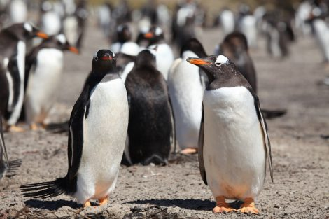Gentoo penguins at Saunders Islands