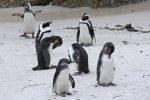 Group of Penguins sleeping near shore