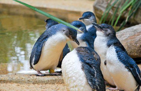 Group of little penguin