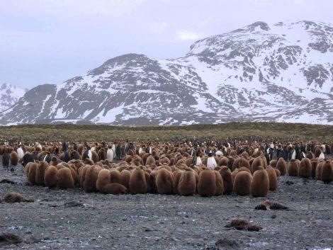 Huddling King penguins and chicks