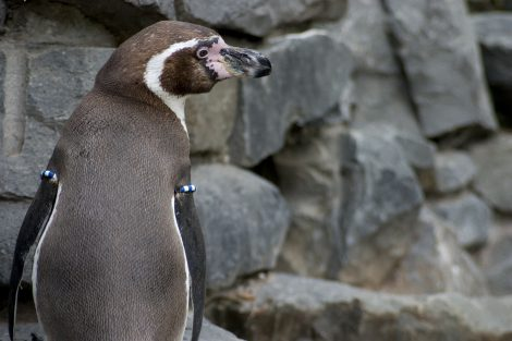 Humboldt Penguins Love to Eat Sardines