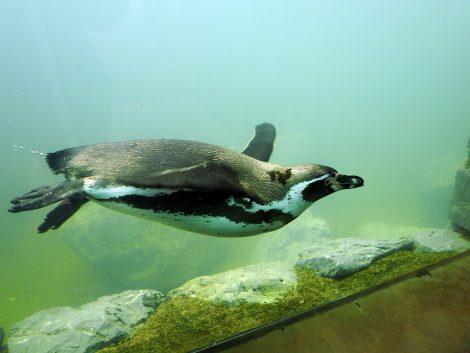 Humboldt penguin dive in the water