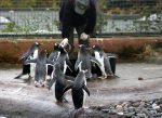 In Zoos, penguins eat fish given by caretakers