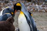 In absence of Nipples, Penguins Feed Their Chicks with Their Beaks