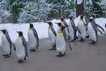 King Penguins Eat Fish As Their Primary Food