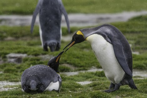 King penguins in the Salisbury plain, South Georgia