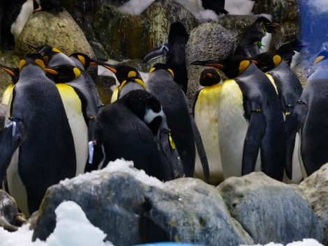 King penguins in the icy sub-Antarctic region