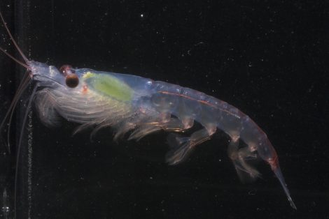 Krill a small crustacean species that fall in the diet list of penguins