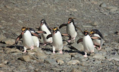 Macaroni penguins in Cooper Bay South Georgia