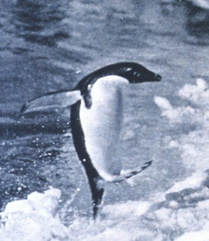 Penguin jumping onto the ice surface from the water