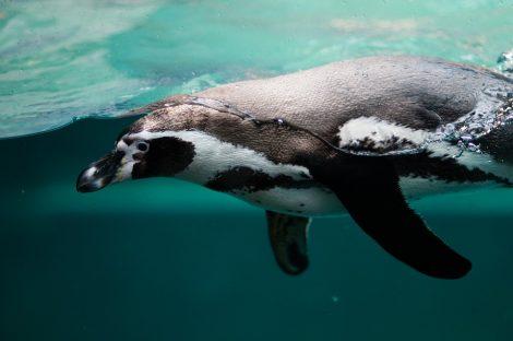 Penguin swimming under water