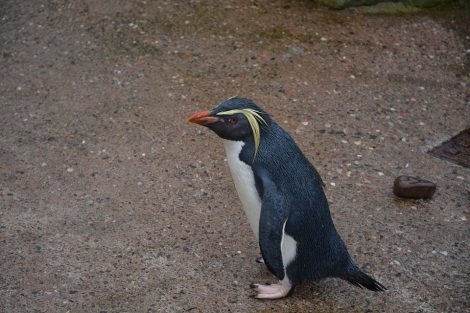 Penguin with Tail