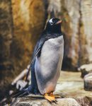Penguins Have A Cloaca Instead of a Penis