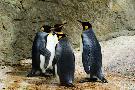 Penguins Have A Layer of Blubber Under Their Feathers