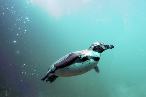 Penguins Protect Themselves from Predators Underwater by Swimming Away Quickly
