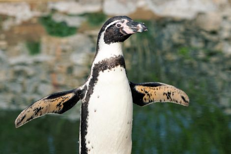 Penguins Spread Their Flippers to Regulate Body Temperature