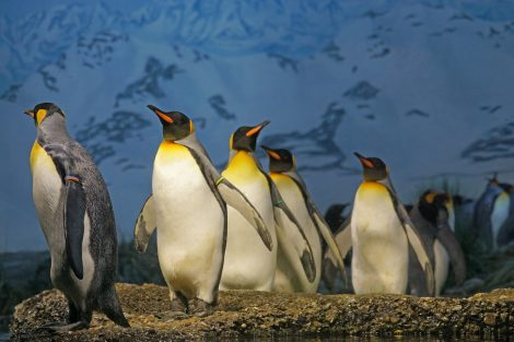 Penguins Use Their Cloaca for Most Functions Related to The Penis