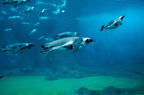 Penguins swimming and surfacing effortlessly in the water
