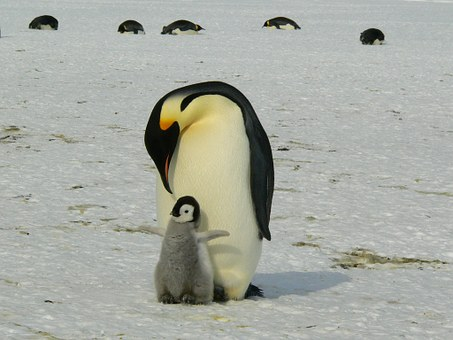 Sleeping Mother Penguin with baby