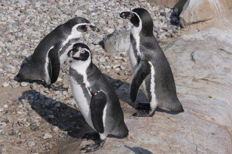 Smart Penguins Steal Rocks from Other Penguins