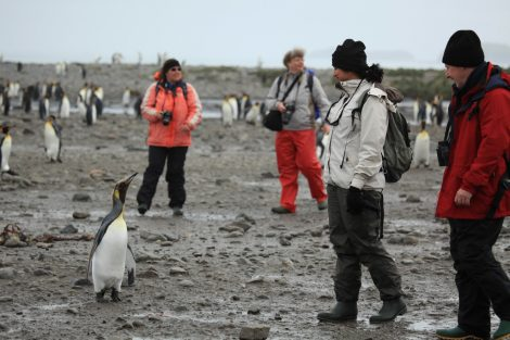 Tourists and King penguins